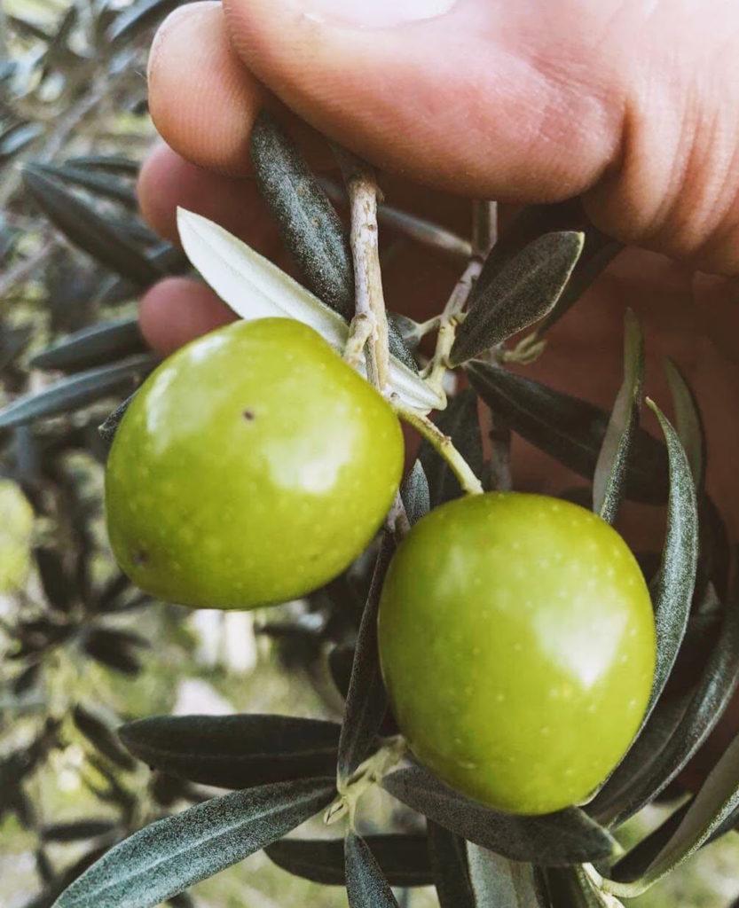 Tonda Ibela olives