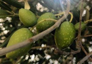 Tonda Iblea olives Caltagirone Sicily