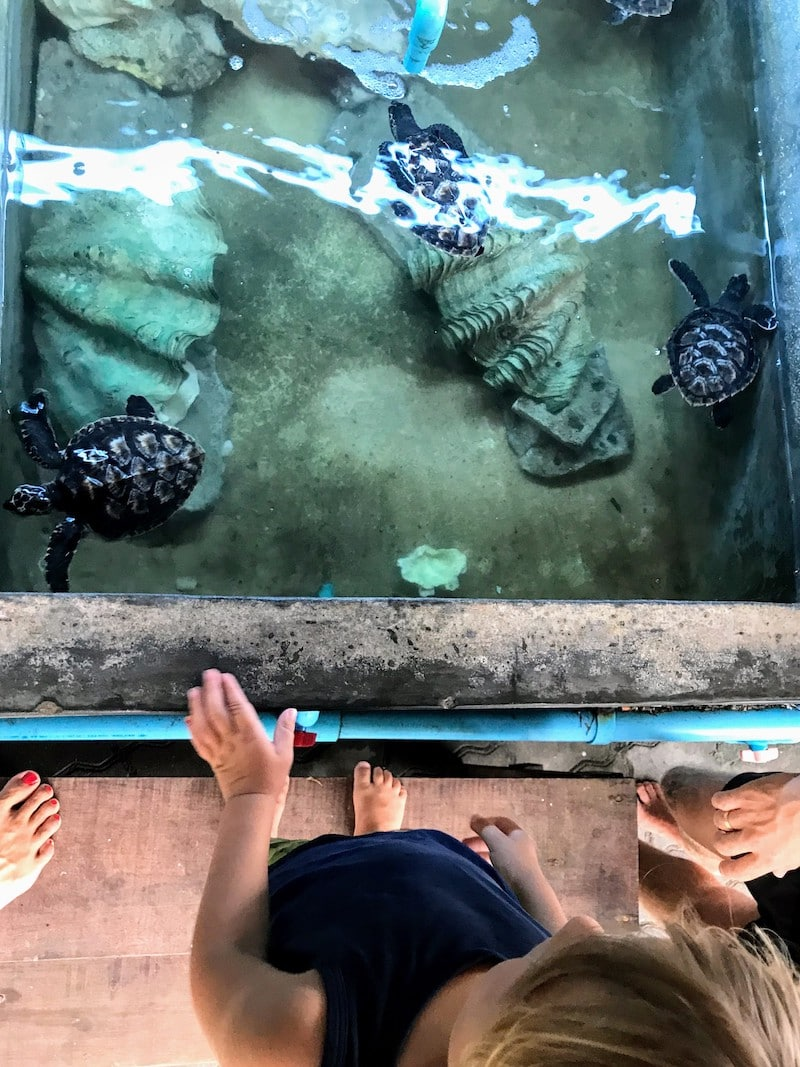 Sea turtles at Koh Tao
