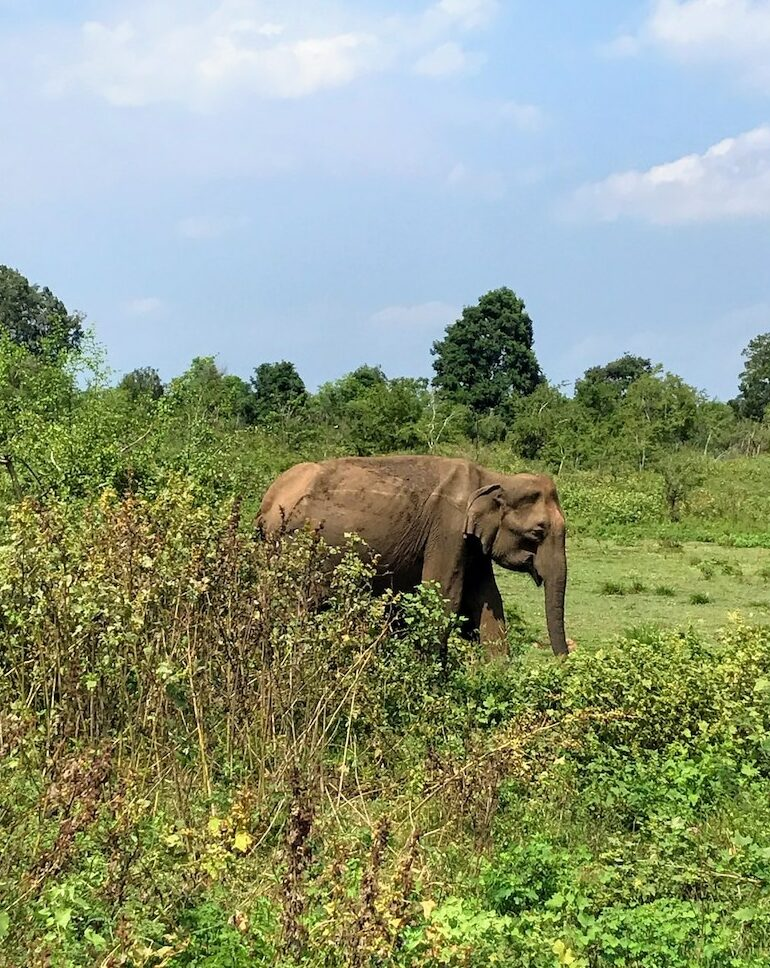 Elephant in Udawalawe National Parkk