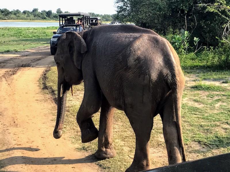 Elephant in Udawalawe Sri Lanka