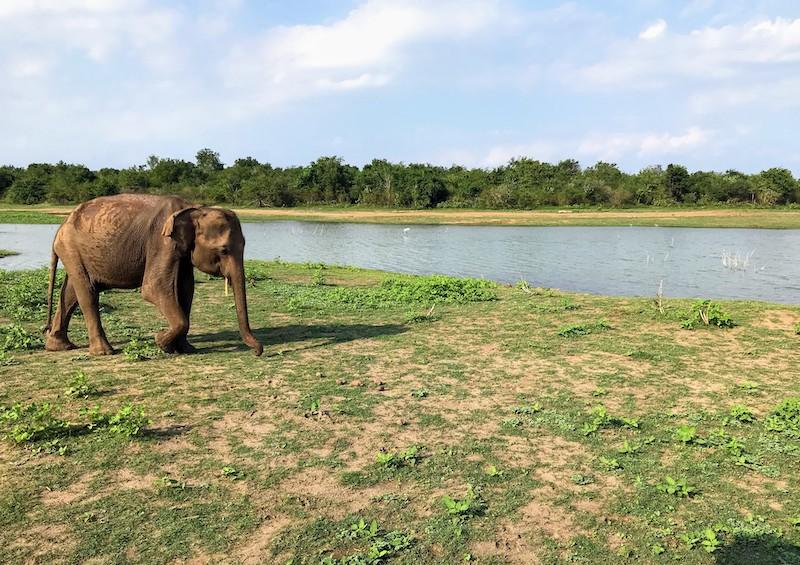 Elephant in Udawalawe park